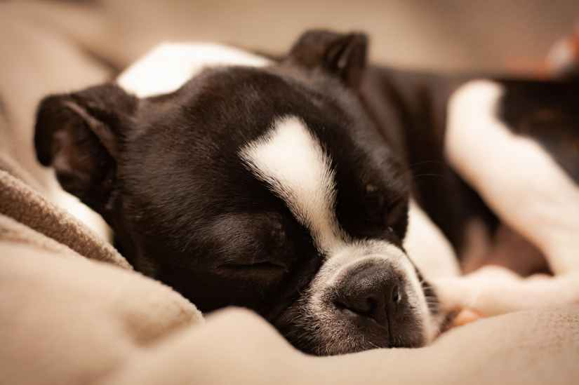 close up photo of black and white boston terrier sleeping